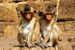 Naughty monkeys at Monkey temple - Lopburi - Esmeralda Groen