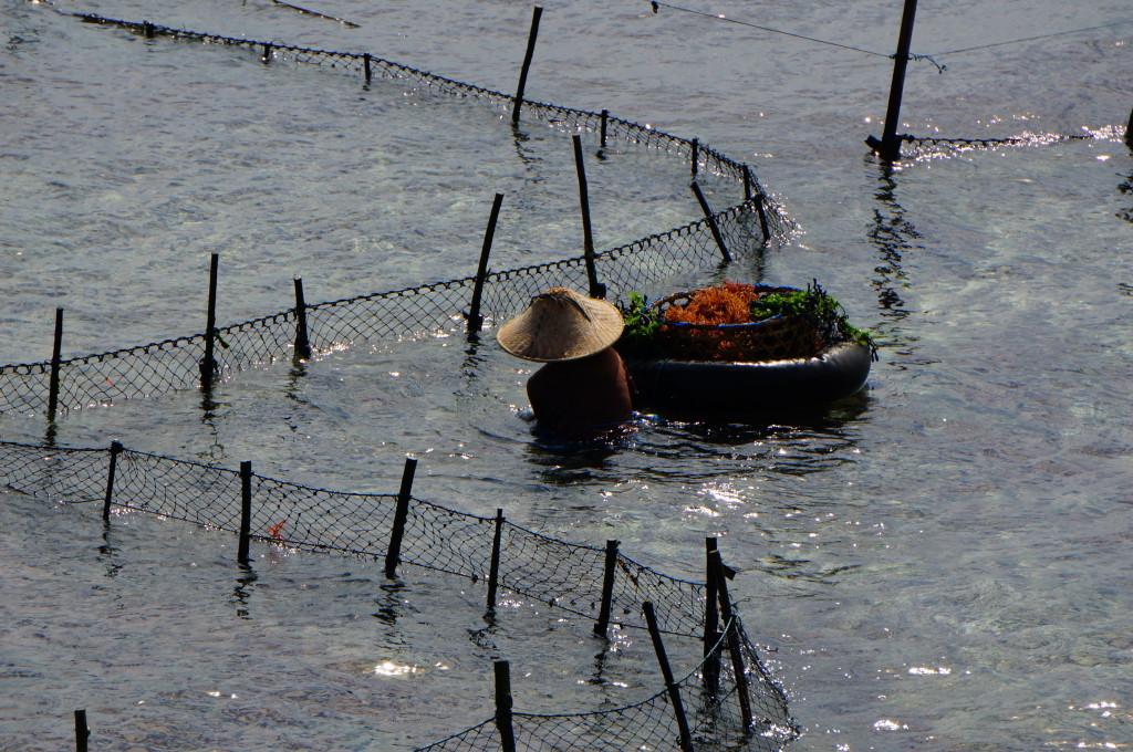 Een vrouw is bezig met het oogsten van zeewier.