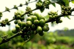 Coffee plantation in the Central Highlands of Vietnam - Esmeralda Groen